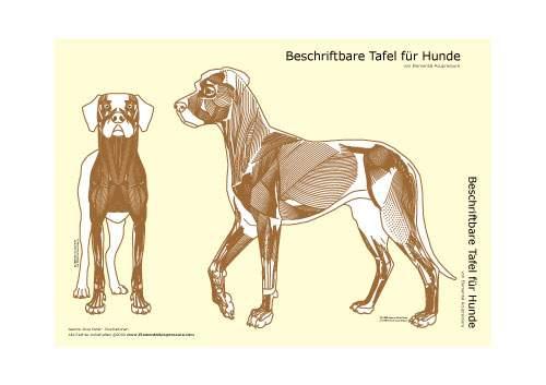 Beschriftbare Tafel, Ansicht der Hundemuskulatur 1