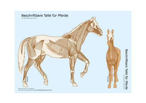 Beschriftbare Tafel, Ansicht der Pferdemuskulatur 2