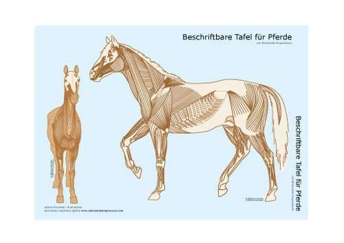 Beschriftbare Tafel, Ansicht der Pferdemuskulatur 1