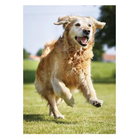 AcuPoint Solutions for your Senior Dog 1