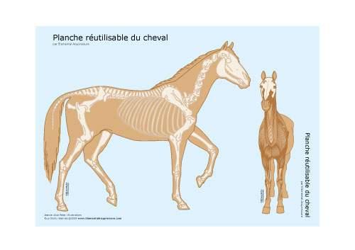 Planche réutilisable - squelette du cheval 2