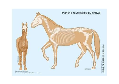 Planche réutilisable - squelette du cheval 1