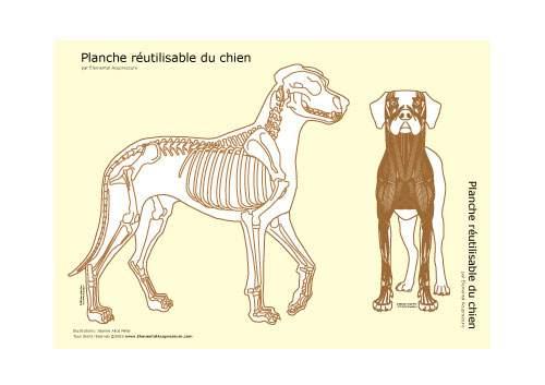 Planche réutilisable - squelette du chien 2
