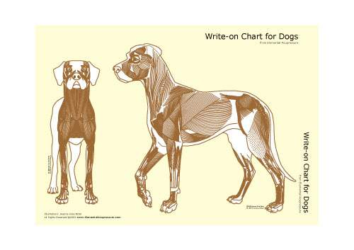 Write-on Chart for Dogs (muscular view) 1