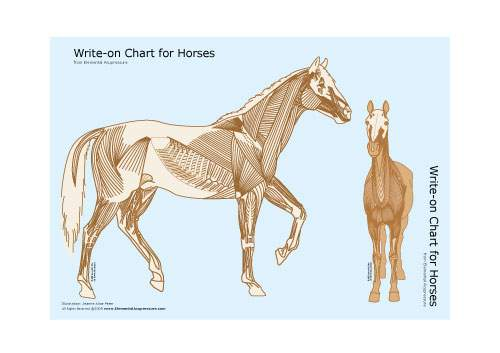 Write-on Chart for Horses (muscular view) 2