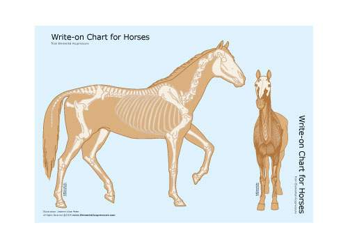 Write-on Chart for Horses (skeletal view) 2